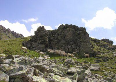 Schafherde auf dem Weg zum Schafsiedel